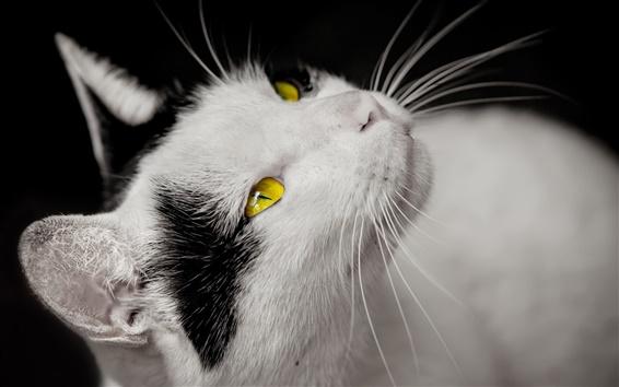Papéis de Parede Gato, branco e preto, olhos amarelos