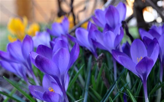 壁紙 クロッカス、青い花、草、春、ぼやけ