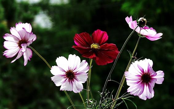 Fond d'écran Fleurs close-up, rose et blanc, rouge