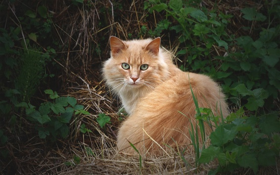 Wallpaper Fluffy cat in the grass