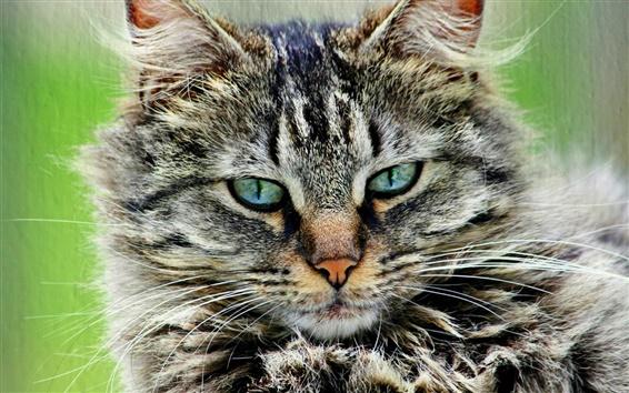 Papéis de Parede Cinza gato peludo, listrado, retrato