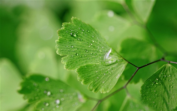 Wallpaper Green leaves, water drops, nature
