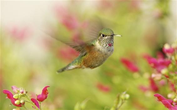 Обои Колибри, птица крупным планом, в полете, красные цветы