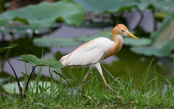 Papéis de Parede Lago, grama, pássaro, garça real, egípcio