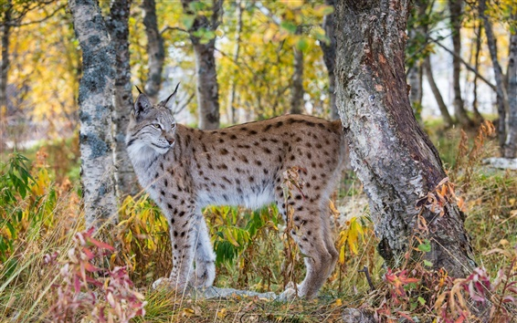 Wallpaper Lynx in the autumn forest