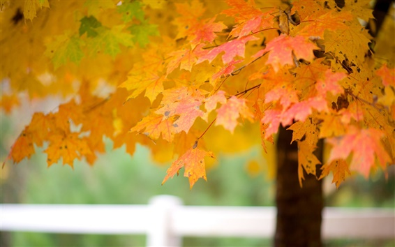 Wallpaper Maple tree leaves, autumn
