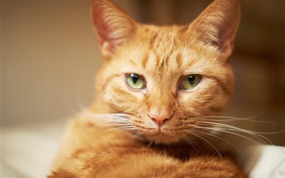 Wallpaper One brown cat, face, mustache