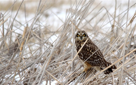 Wallpaper Owl in the grass at winter