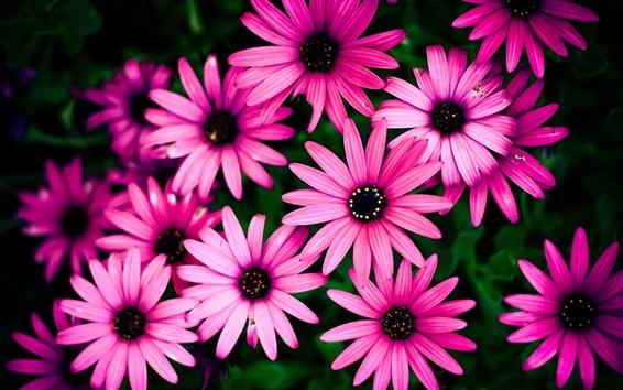 Papéis de Parede Crisântemo rosa, belas flores