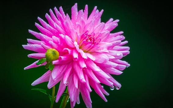 Papéis de Parede Dália rosa, orvalho, gotas de água