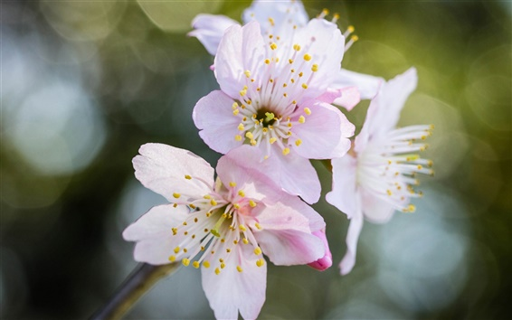 Papéis de Parede Pink flores macro, sakura, bokeh