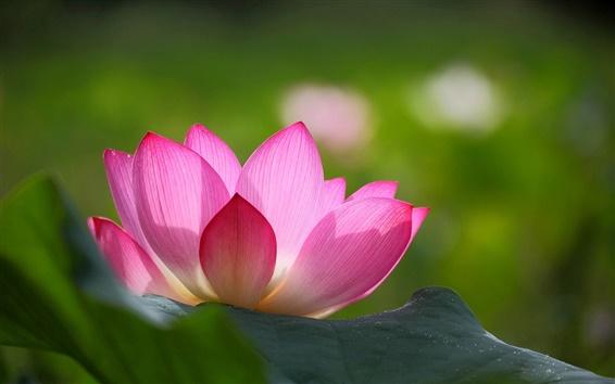 Wallpaper Pink lotus flower, green leaves, blur background