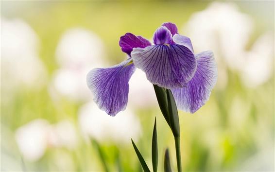 Wallpaper Purple iris, flower close-up