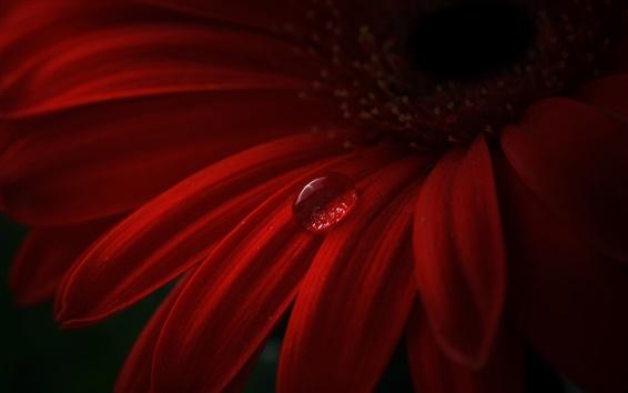 Papéis de Parede Gérbera vermelha, pétalas, gotas de água