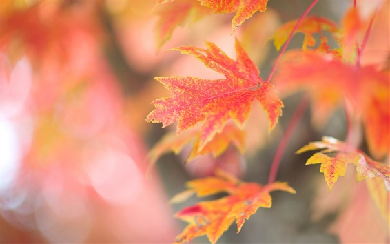 Wallpaper Red maple leaves, autumn, glare background