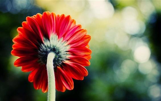 Fond d'écran Une seule fleur rouge, bokeh