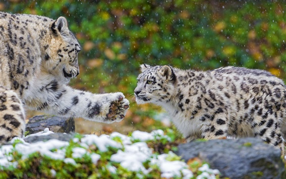 Wallpaper Snow leopard, a family