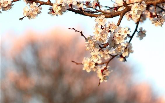 Обои Весенний цветок цветение, цветы вишни