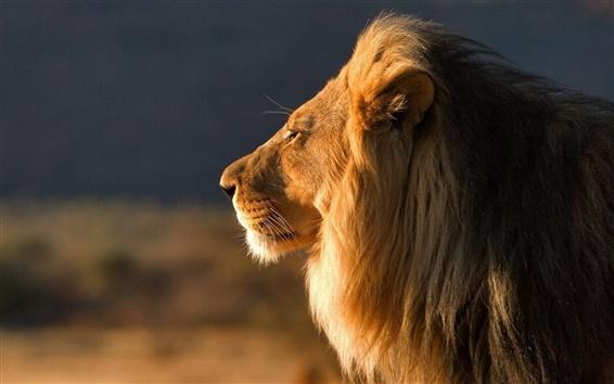 Wallpaper Summer lion face close-up