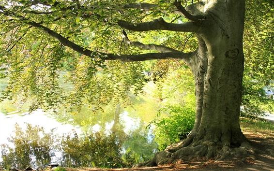 Papéis de Parede Verão, sob a árvore grande, lago