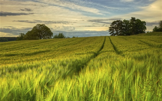 Wallpaper Sweden, nature scenery, green fields, trees, evening, summer