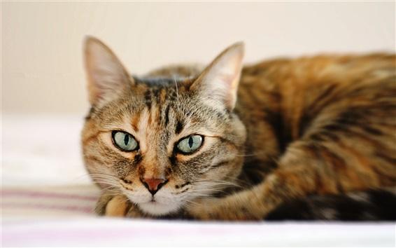 Обои Полосатый кот, лежа, лицо крупным планом