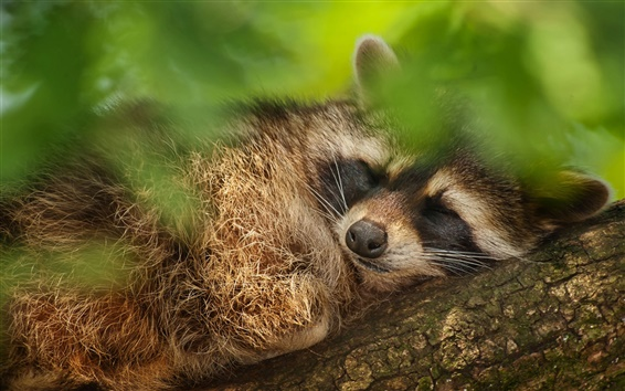 Wallpaper Tree, green leaves, raccoon falling asleep