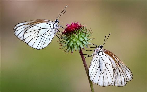 Papéis de Parede Duas borboletas em flor