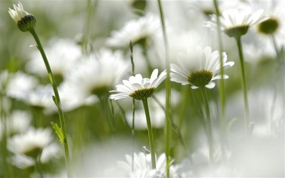 배경 화면 흰색 데이지 꽃, 소프트 포커스