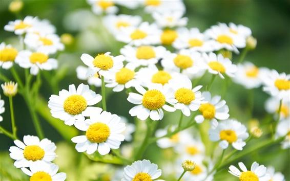 Wallpaper White daisies flowers, yellow