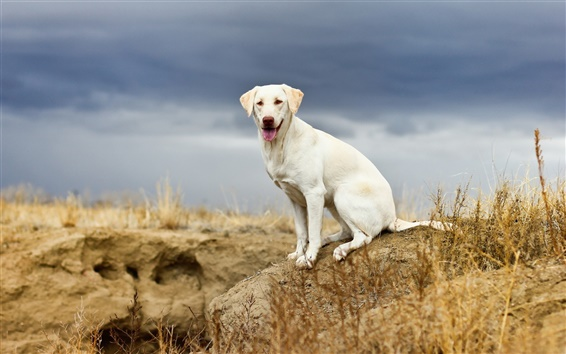 Wallpaper White dog, look, nature, cloudy