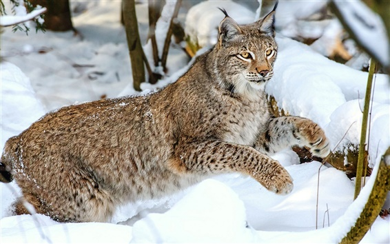 Papéis de Parede Gato selvagem, neve, inverno