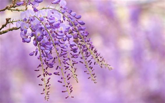 Fondos de pantalla Wisteria flores púrpuras, rama, fondo borroso