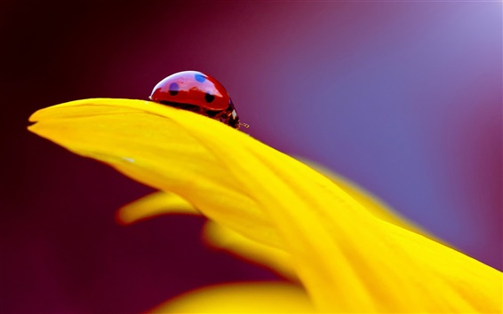 Wallpaper Yellow flower petal, insect ladybug
