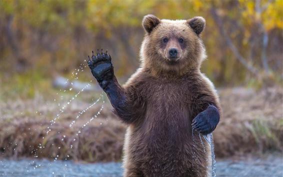 Wallpaper Alaska grizzly bear, say hi