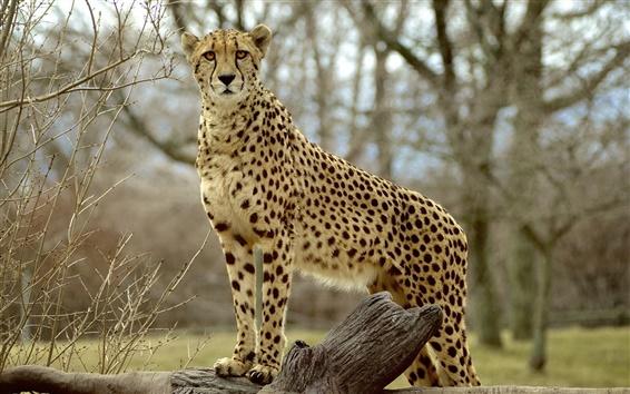 배경 화면 동물 사진, 치타, 육식 동물