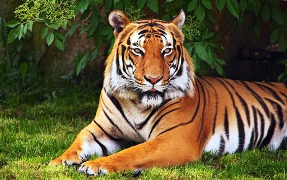 Wallpaper Animals, tiger, tree, leaves, grass, green