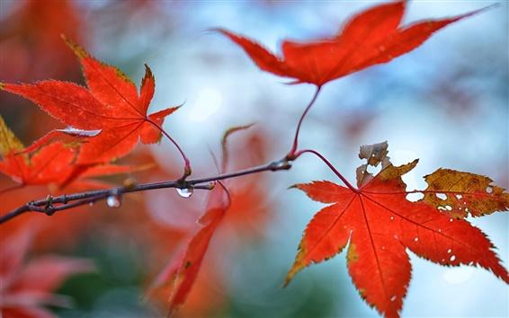 Fondos de pantalla Otoño, hojas de arce rojas, gotas de agua