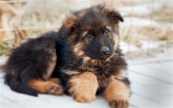 Papéis de Parede Cão bonito pastor alemão