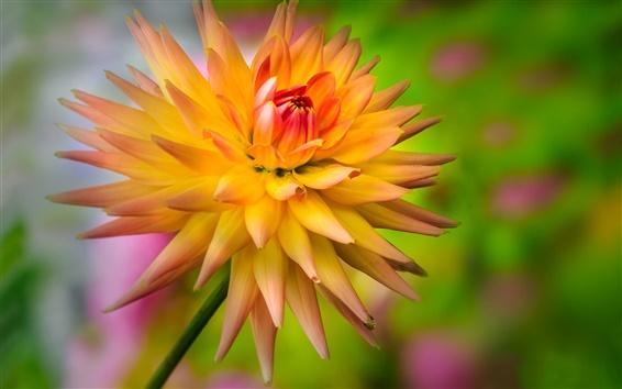 Обои Цветок, желтый-оранжевый георгины, капля