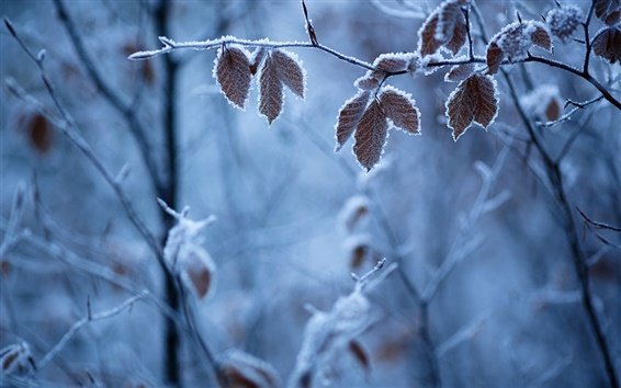 Wallpaper Forest winter, branches, leaves, frost