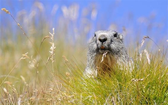桌布 草,鼠害旱獺,夏天
