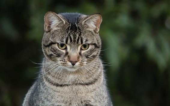 Fond d'écran Chat gris rayé regarder