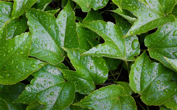 Обои Зеленые листья, капли воды