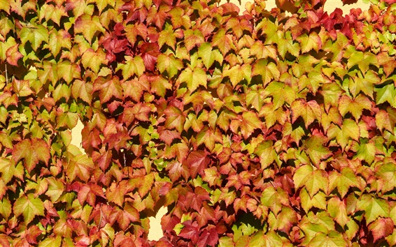 Wallpaper Many leaves on the wall, vine, colors