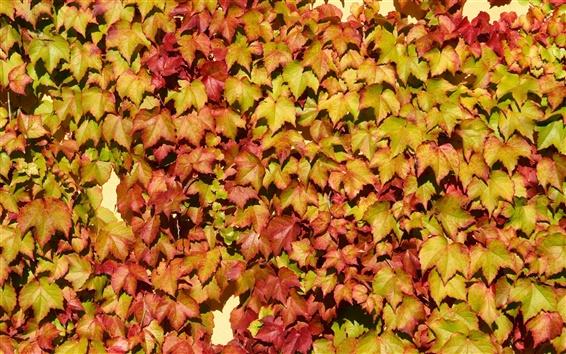 Fond d'écran Beaucoup de feuilles sur le mur, la vigne, les couleurs