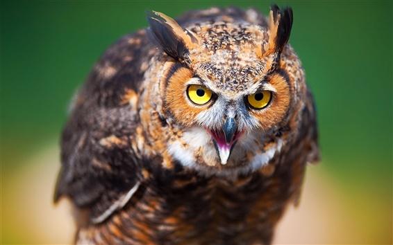 Wallpaper Owl face close-up, blur background