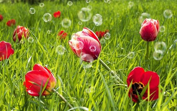Wallpaper Red tulip flowers, green grass