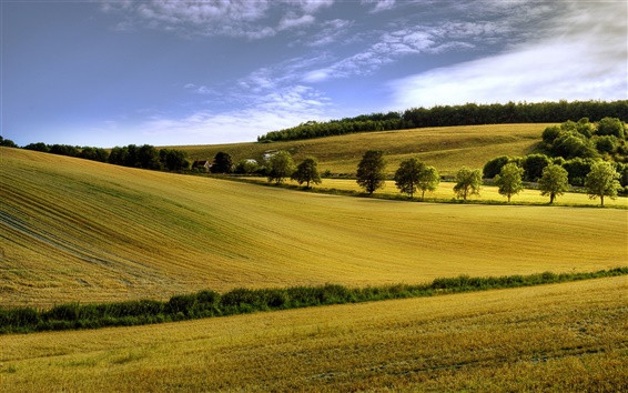 Wallpaper Summer field, yellow, trees, blue sky