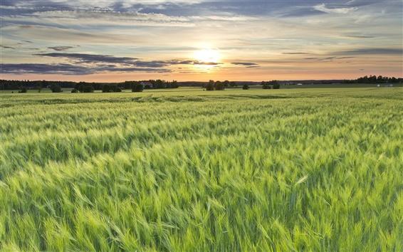 Fond d'écran Suède, les champs d'orge, le soleil, soirée, coucher de soleil